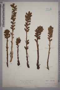Orobanche minor herbarium specimen from Maidstone, VC15 East Kent in 1926 by Mr Harold Stuart Thompson.