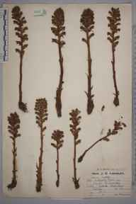 Orobanche minor herbarium specimen from Chipstead, VC17 Surrey in 1923 by Mr Job Edward Lousley.