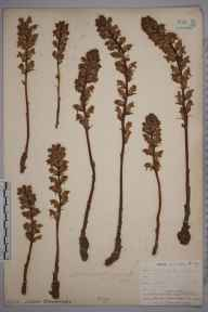 Orobanche minor herbarium specimen from Godolphin, VC1 West Cornwall in 1902 by Travers Adamson.