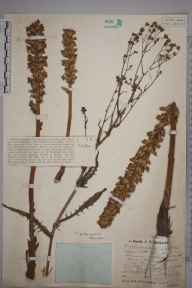 Orobanche minor herbarium specimen from Freckenham, VC26 West Suffolk in 1931 by Mr Job Edward Lousley.