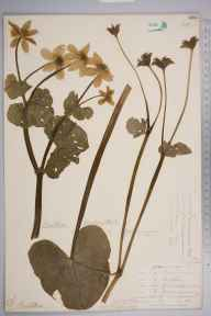 Caltha palustris var. guerangerii herbarium specimen from King's Caple, VC36 Herefordshire in 1904 by Rev. Augustin Ley.