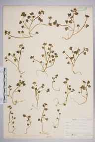 Cochlearia danica herbarium specimen from Camborne, VC1 West Cornwall in 1901 by Mr Frederick Hamilton Davey.