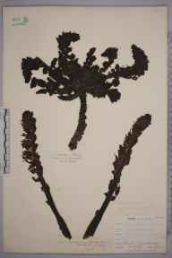 Lathraea squamaria herbarium specimen from Keston, VC16 West Kent in 1903 by William Henry Griffin.