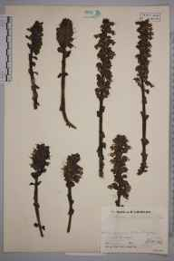 Lathraea squamaria herbarium specimen from Washington, VC13 West Sussex in 1933 by Mr Job Edward Lousley.