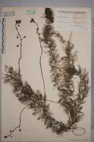 Utricularia vulgaris herbarium specimen from Pevensey Castle, VC14 East Sussex in 1937 by Mr Edward Charles Wallace.