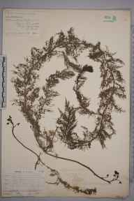 Utricularia vulgaris herbarium specimen from Balrothery,Bog of the Ring, VCH21 Co. Dublin in 1902 by Nathaniel Colgan.