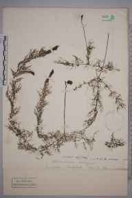 Utricularia vulgaris herbarium specimen from Shapwick, VC6 North Somerset in 1894 by Henry Franklin Parsons.