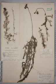 Utricularia vulgaris herbarium specimen from Dovey Junction, VC47 Montgomeryshire in 1923 by Mr William Charles Barton.