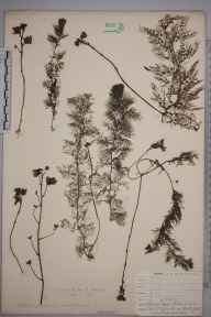 Utricularia vulgaris herbarium specimen from Goss Moor, VC2 East Cornwall in 1905 by Dr Chambre Corker Vigurs.