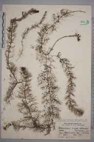 Utricularia australis herbarium specimen from Freshwater Bay, VC10 Isle of Wight in 1927 by Mr James Groves.