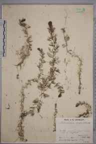 Utricularia australis herbarium specimen from Byfleet, VC17 Surrey in 1932 by Mr Job Edward Lousley.