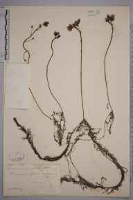 Utricularia australis herbarium specimen from Wire mill pond, VC17 Surrey in 1883 by Mr William Hadden Beeby.