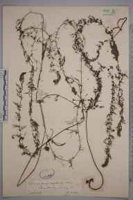 Utricularia australis herbarium specimen from Camberley, VC17 Surrey in 1884 by Mr William Hadden Beeby.