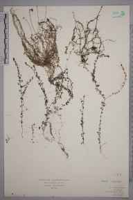 Utricularia minor herbarium specimen from Fair Head, VCH39 Co. Antrim in 1928 by Mr Isaac A Helsby.