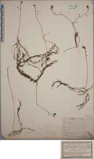 Utricularia minor herbarium specimen from Winden, Bayern in 1856.