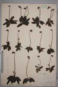 Pinguicula vulgaris herbarium specimen from Teesdale, VC66 County Durham in 1903 by Mr Allan Octavian Hume.