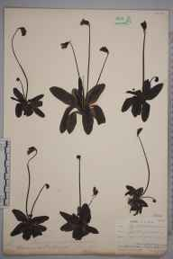 Pinguicula vulgaris herbarium specimen from Widdybank Fell,  Sand Sike, VC66 County Durham in 1903 by Mr Allan Octavian Hume.
