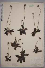 Pinguicula vulgaris herbarium specimen from Gullane, VC82 East Lothian in 1908 by J Denham.