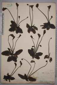 Pinguicula grandiflora herbarium specimen from Caragh, VCH1 South Kerry in 1905 by Joseph Hume Hume-rothery.