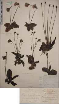 Pinguicula grandiflora herbarium specimen from Coom na Capel, VCH2 North Kerry in 1855 by Joseph Woods.