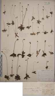Pinguicula lusitanica herbarium specimen from Haldon, VC3 South Devon in 1828.