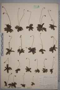 Pinguicula lusitanica herbarium specimen from Red Moor, near Helman Tor, VC2 East Cornwall in 1904 by Mrs W J Graham.