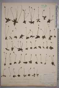 Pinguicula lusitanica herbarium specimen from Penryn, Halvosso, VC1 West Cornwall in 1899 by Mr Allan Octavian Hume.