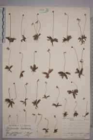 Pinguicula lusitanica herbarium specimen from Lyndhurst, VC11 South Hampshire in 1886 by Mr Henry Groves.