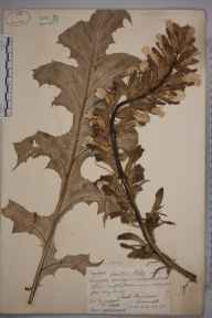 Acanthus mollis herbarium specimen from Treath, Manaccan, VC1 West Cornwall in 1878 by Robert Nicholls.