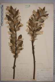 Acanthus mollis herbarium specimen from Mullion, VC1 West Cornwall in 1899 by Mr Allan Octavian Hume.