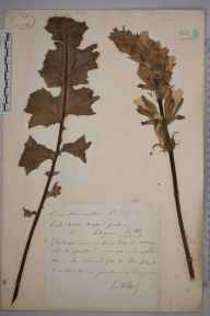 Acanthus mollis herbarium specimen from Saint Agnes, Scilly, VC1 West Cornwall in 1873 by Mr William Hadden Beeby.