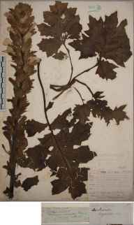 Acanthus mollis herbarium specimen from Saint Agnes, Scilly, VC1 West Cornwall in 1852 by Joseph Woods.