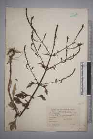 Verbena officinalis herbarium specimen from Sandford, VC22 Berkshire in 1943 by Charles Edward Hubbard.
