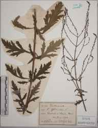 Verbena officinalis herbarium specimen from Hayes, VC16 West Kent in 1892.