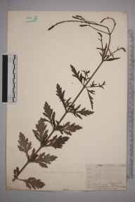 Verbena officinalis herbarium specimen from Hayes, VC16 West Kent in 1910 by William Henry Griffin.