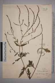 Verbena officinalis herbarium specimen from Croydon, VC17 Surrey in 1916 by Stafford Edwin Chandler.
