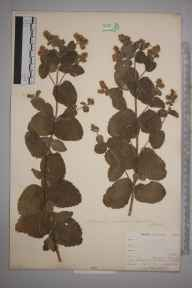 Mentha suaveolens x longifolia = M. x rotundifolia herbarium specimen from Perranwell Station, VC1 West Cornwall in 1899 by Mr Allan Octavian Hume.