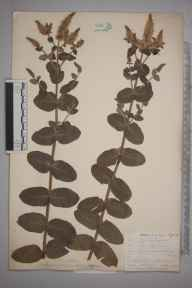 Mentha rotundifolia herbarium specimen from Pentewan, VC2 East Cornwall in 1901 by Mr Allan Octavian Hume.
