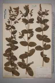 Mentha rotundifolia herbarium specimen from Looe, VC2 East Cornwall in 1900 by Mr Allan Octavian Hume.