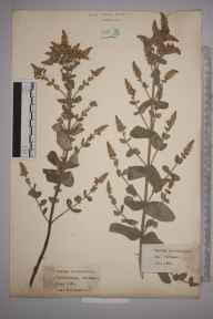 Mentha suaveolens x longifolia = M. x rotundifolia herbarium specimen from Charlestown, VC2 East Cornwall in 1921 by William Robert Sherrin.