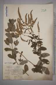 Mentha suaveolens x longifolia = M. x rotundifolia herbarium specimen from Wells, VC28 West Norfolk in 1909 by Rev. Edward Francis Linton.