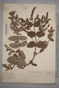 Mentha suaveolens x longifolia = M. x rotundifolia herbarium specimen from Steephill, VC10 Isle of Wight by Mr Frederick Townsend.