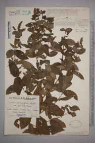 Mentha spicata herbarium specimen from Wheddon Cross, VC5 South Somerset in 1931 by Mr Edward Charles Wallace.
