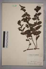 Mentha spicata herbarium specimen from Goonbell Halt, VC1 West Cornwall in 1936 by Mr Job Edward Lousley.