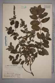 Mentha spicata herbarium specimen from Paul, VC1 West Cornwall in 1936 by Mr Job Edward Lousley.