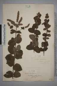 Mentha suaveolens x longifolia = M. x rotundifolia herbarium specimen from Penzance, VC1 West Cornwall in 1886 by Mr William Curnow.