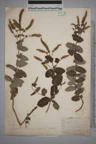 Mentha suaveolens x longifolia = M. x rotundifolia herbarium specimen from Niton, VC10 Isle of Wight in 1844 by Mr Frederick Townsend.