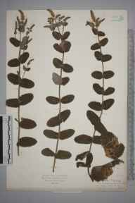 Mentha suaveolens x longifolia = M. x rotundifolia herbarium specimen from Symonds Yat, VC36 Herefordshire in 1925 by Mr Isaac A Helsby.