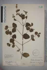 Mentha suaveolens x longifolia = M. x rotundifolia herbarium specimen from Kingsbridge, VC3 South Devon in 1921 by Stafford Edwin Chandler.
