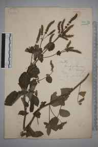 Mentha suaveolens x longifolia = M. x rotundifolia herbarium specimen from Kew, VC17 Surrey in 1879 by Mr George Nicholson.